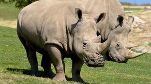 ولادة أنثى وحيد القرن المهدد بالانقراض في فلوريدا