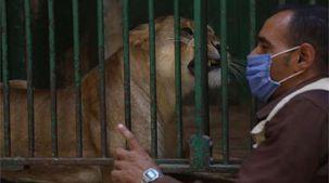 """الأسد هوجان يعود لحديقة الحيوان بعد جراحة في عينه: """"لسه تحت الملاحظة"""""""