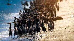 11 معلومة عن طائر الغاق السقطري على شاطئ عمان: مهدد بالانقراض