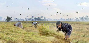 حصاد الأرز - صورة أرشيفية