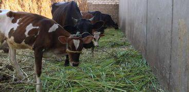 صورة أرشيفية-الأبقار
