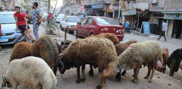 استعداد المواطنين لشراء رؤوس الماشية قبل عيد الاضحي المبارك