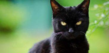 حقيقة تمثل الجن في جسد القطط السوداء
