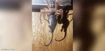 عنكبوت يلتهم فأر