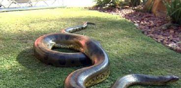 """أثنى ثعبان """"Python"""" تفقس في حوالي شهر تقريبا"""