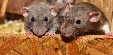 فئران تهاجم المنازل بسبب تداعيات كورونا
