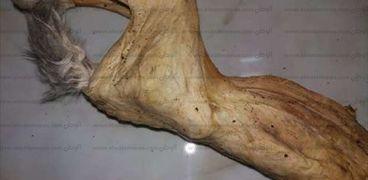 """جسد حيوان (أرنب) محنط بعد مرور 65 يوما على سحب الماء من أنسجته تماما بواسطة """"فطر مُكتشف"""""""