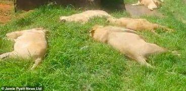جثث الأسود المقتولة في جنوب أفريقيا