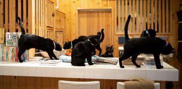 أول مقهى مخصص للقطط السوداء في العالم