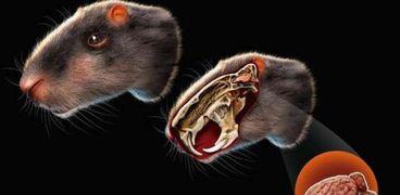 فأر بحجم إنسان