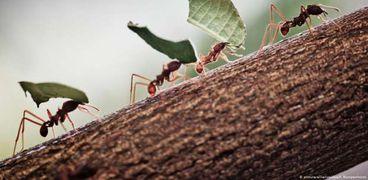 النمل