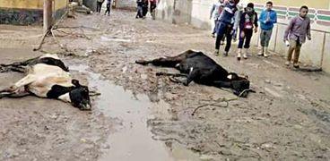 نفوق ماشية