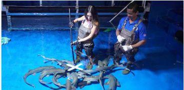 أثناء إطعام أسماك القرش