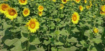 طفرة في بساتين الفاكهة وعباد الشمس والنباتات الطبية والعطرية بالفيوم