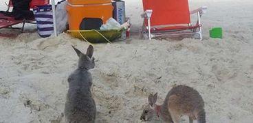 اثنان من الكنجارو على شاطئ ساحل ولاية «ألاباما» الأمريكية