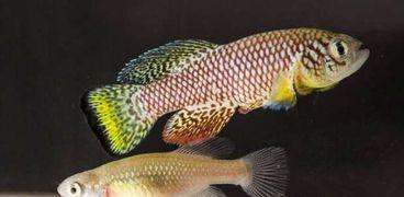 سمك الكيلي فيش الفيروزي