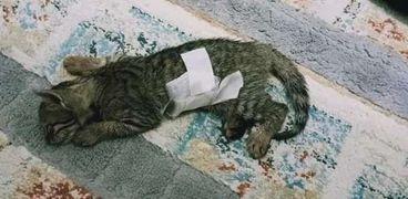 القطة بعد إجراء جراحة الأمعاء