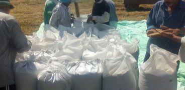 بدء حصاد محصول الأرز