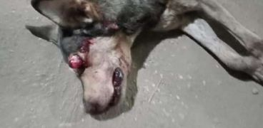 الكلب المسعور بعد قتله