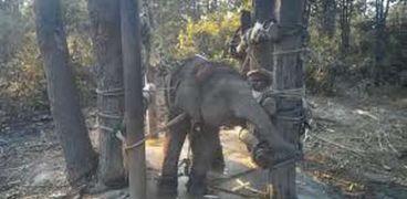 يهدف المدربون من عملية سحق الأفيال جعلها خاضعة بما يكفي للتفاعل مع السياح