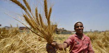 محصول القمح  - أرشيفية