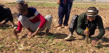 مزارعو البصل في سوهاج يطالبون بقرية بضائع ومحطات فرز