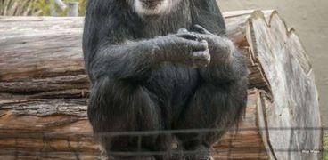 كوبي أكبر شمبانزي ذكر معمر في الولايات المتحدة