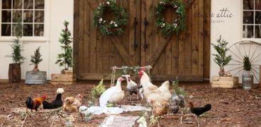 تفسير رؤية الدجاجة في المنام