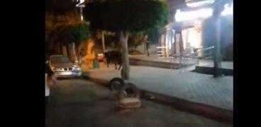 قبل العيد.. هروب عجل هائج بعد دهس شاب بمصر الجديدة