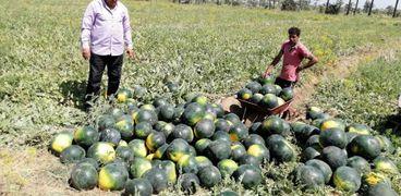 محصول البطيخ