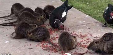 فئران عملاقة تغزو حديقة أمريكية