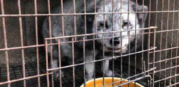 الصين تهدد العالم بوباء محتمل أشد فتكا من كورونا: السر في الكلاب