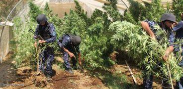أحد مشاتل الماريوانا التي ضبطتها الشرطة الفلسطينية