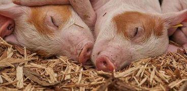 إنفلونزا الخنازير
