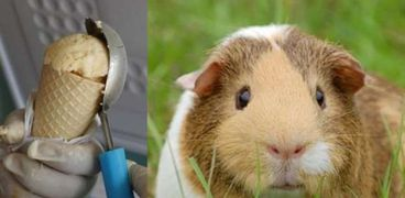 """أيس كريم بطعم """"فأر خنزير غينيا"""""""