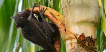 خفاش الفاكهة