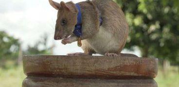 """الفأر """"ماغاو"""""""