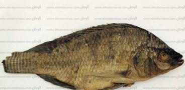 سمكة محنطة بأحشائها