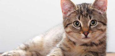 القطط الأليفة تحسن من الصحة النفسية لأصحابها