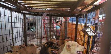 بدأ مهرجان لحم الكلاب في كوريا الجنوبية