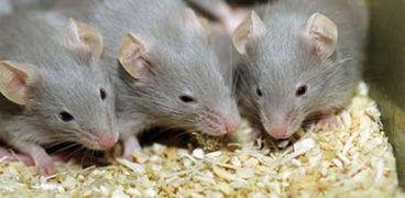 تفسير أحلام الفئران