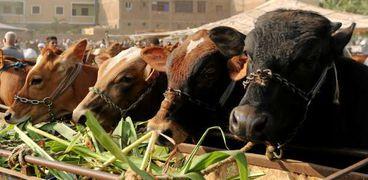 الماشية