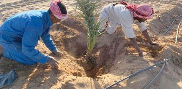 زراعة النخيل وبدء اول حصاد للقمح ووصول كتاكيت التسمين ابرز مشروعات تنمية شلاتين