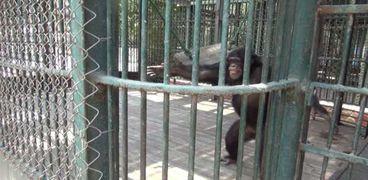 فيديو.. شمبانزي يعقم يده بالماء والصابون لمواجهة كورونا بالجيزة