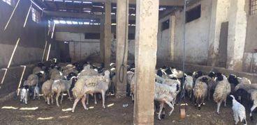 سوق الماشية بالمنيا