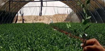 نجاح زراعة نبات الجو جوبا على مساحة 12500 فدان بالوادي الجديد