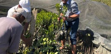 جانب من زراعة غابات المانجو