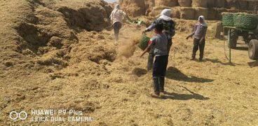 جمع قش الأرز