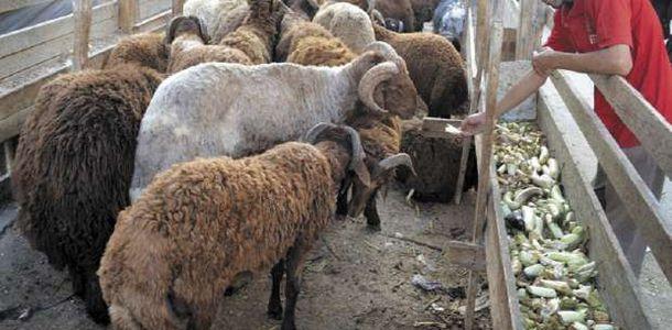 10 نصائح عند شراء خروف عيد الأضحى اختار نشيط الحركة مصر الوطن