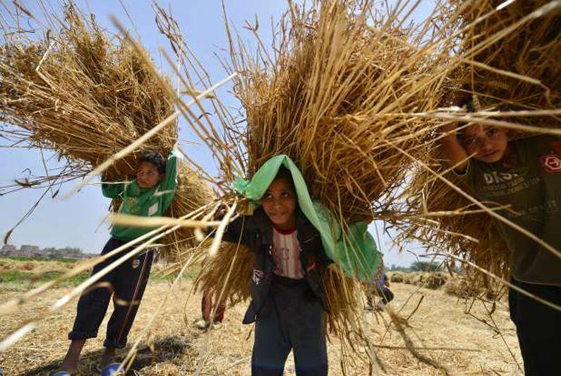موسم حصاد القمح في المنوفية